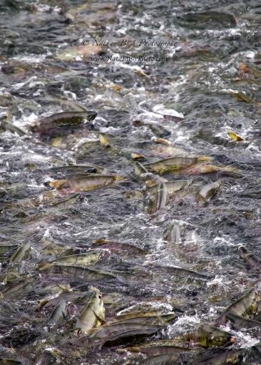 Salmon_Swarm_2095-web